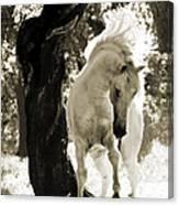Stallion Dances In Sepia Canvas Print