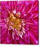 Standard Beautiful Dahlia Canvas Print
