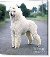 Standard Poodle Dog, Unclipped Canvas Print