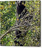 Standing Black Bear Canvas Print