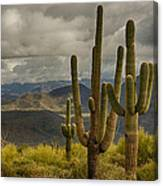Standing Tall In The Sonoran Desert  Canvas Print
