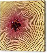 Stapelia Grandiflora - Close Up Canvas Print