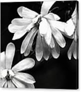 Star Magnolia In Black And White Canvas Print
