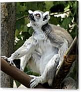 Lemur Stare Canvas Print
