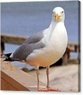 Stare Of A Seagull Canvas Print