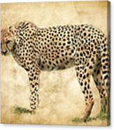 Stare Of The Cheetah Canvas Print