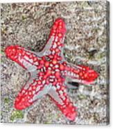 Starfish Wonder Canvas Print