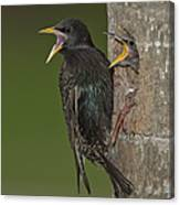 Starling And Young Canvas Print