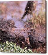 Starlings Fight Canvas Print