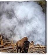 Steamed Bison Canvas Print