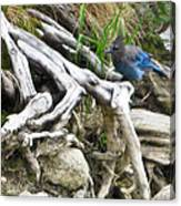 Stellers Jay Canvas Print