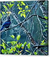 Steller's Jay In A Tree Canvas Print