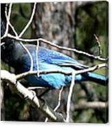 Steller's Jay - Peaking Through Branches Canvas Print