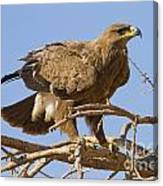 Steppe Eagle Aquila Nipalensis 2 Canvas Print