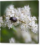 Stiff Dogwood Wildflowers And Beetle Canvas Print