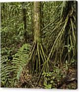Stilt Roots In The Rainforest Ecuador Canvas Print