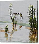 Stilts Hunting And Pecking Canvas Print