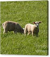 Stirling Sheep Canvas Print