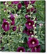 Stokrose Purple Canvas Print