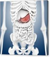 Stomach Anatomy, Artwork Canvas Print