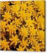 Stonecrop Orange Succulent Canvas Print