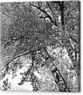 Storm Over The Cottonwood Trees - Black And White Canvas Print