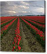 Stormy Red Tulips Canvas Print