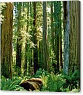 Stout Grove Coastal Redwoods Canvas Print