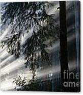 Stout Grove Redwoods With Sunrays Breaking Through Fog Canvas Print