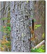 Straight Tail Squirrel Canvas Print