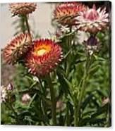 Straw Flowers Xerochrysum Bracteatum Canvas Print