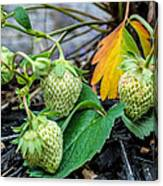 Strawberries - Soon To Be Picked Canvas Print