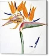 Strelitzia Reginae Flowers Canvas Print