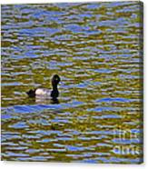 Striking Scaup Canvas Print