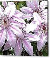 Striped Clematis Canvas Print