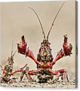 Striped Crayfish  Canvas Print