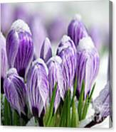 Striped Purple Crocuses In The Snow Canvas Print