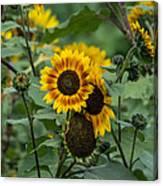 Striped Sunflower Canvas Print