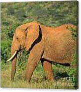 Strolling Elephant Canvas Print