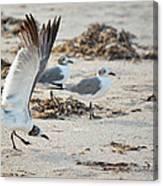 Strutting Seagull On The Beach Canvas Print