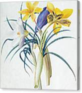 Study Of Four Species Of Crocus Canvas Print