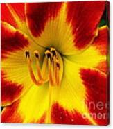 Stunning Daylily  Canvas Print