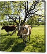 Stunning Texas Longhorns Canvas Print