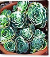 Succulent 13 Canvas Print