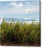 Sugar Cane Field - Maui Canvas Print