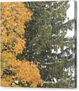 Sugar Maple And Evergreen Canvas Print