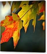Sugar Maple Fall Colors Canvas Print