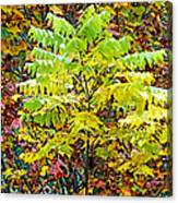 Sumac Leaves In The Fall Canvas Print