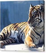 Sumatran Tiger 7d27276 Canvas Print
