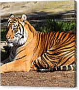 Sumatran Tiger 7d27310 Canvas Print